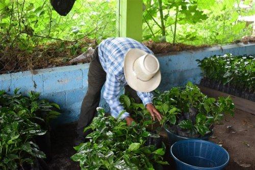 6000 plántulas de café son entregadas a beneficiarios del municipio de San Juan la Laguna