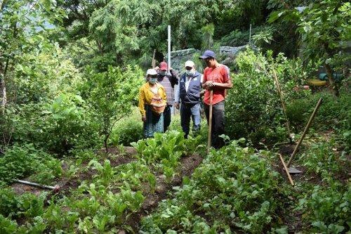 Compost Atitlán es aplicado a siembras en parcelas demostrativas