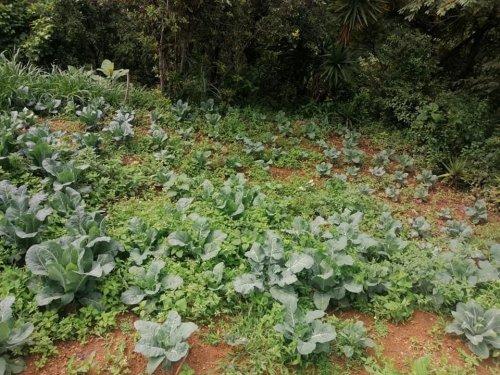 Hortalizas son cosechadas con abono orgánico compost Atitlán
