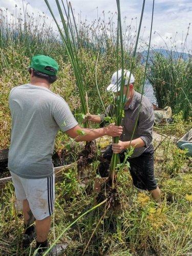 Instituciones siembran tul en San Juan la Laguna