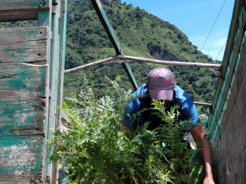 AMSCLAE entrega de plántulas de gravilea y pino en San Juan la Laguna